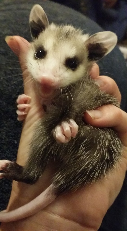 Baby opossum being rehabbed by Jessica Coleman in Edna.